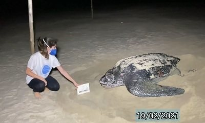 Ninho inédito de tartaruga ameaçada é monitorado por câmeras