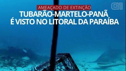 VÍDEO: espécie rara de tubarão-martelo é avistada no litoral da Paraíba