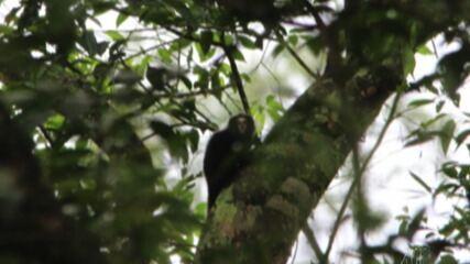 Sagui-da-serra-escuro é encontrado no Parque da Neblinas, em Mogi