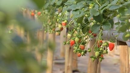Turistas saboreiam morango em uma plantação com rodízio da fruta