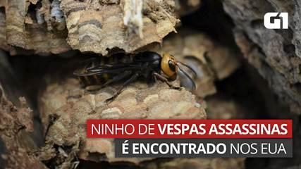 VÍDEO: Ninho de vespas gigantes asiáticas é destruído no estado de Washington