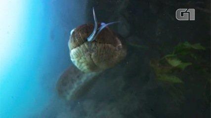 Sucuri 'mostra língua' ao ser flagrada por documentarista em águas cristalinas de Bonito