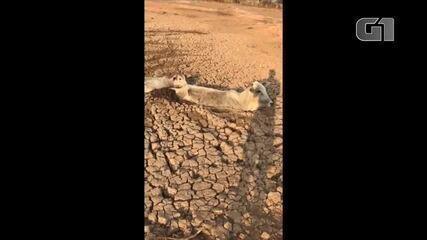 Vaca e bezerro ficam atolados em lama em Poconé (MT)