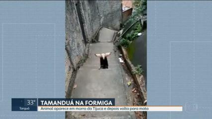 Morador registra tamanduá-mirim no Morro da Formiga, na Tijuca, Zona Norte do Rio