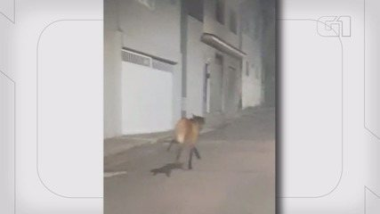 Moradora flagra lobo-guará no Centro de Varginha
