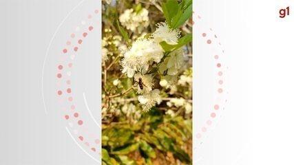 Antes da fruta da guavira nascer, as flores encantam e colorem o cerrado