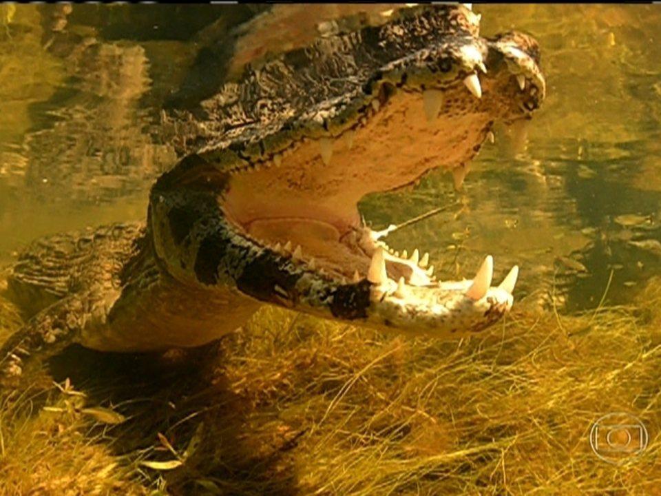 Imagens impressionantes mostram mergulho com jacarés no Pantanal