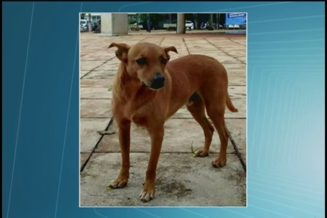 Procura-se Orelha: cachorro que desapareceu em Uberlândia mobiliza estudantes e MP