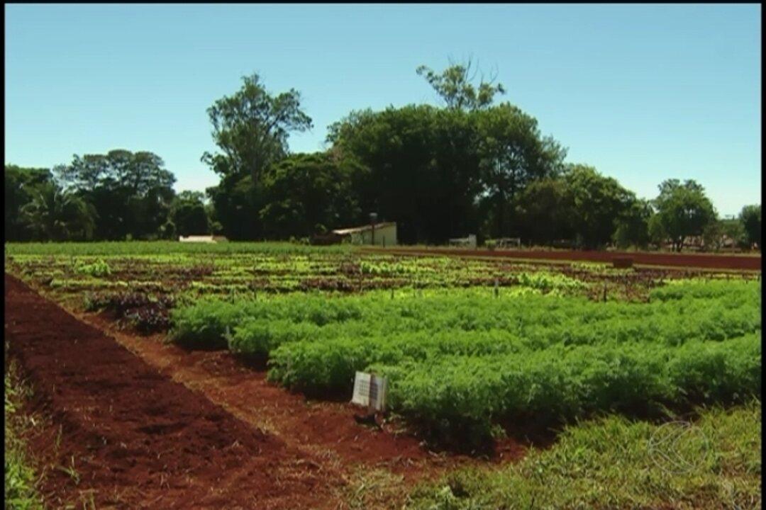 Pesquisadores da UFU criam alface biofortificada em Monte Carmelo