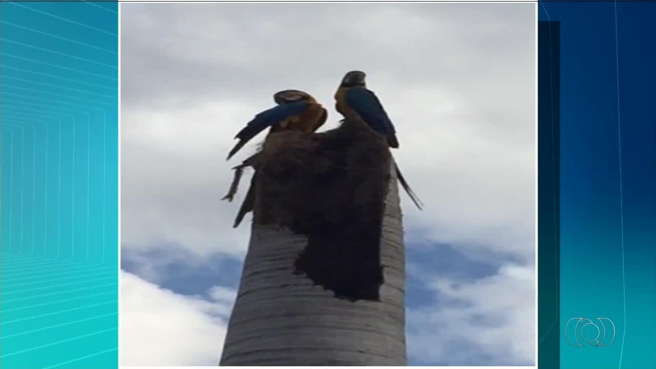Casal de araras canindé surpreende moradores com ninho em Palmas