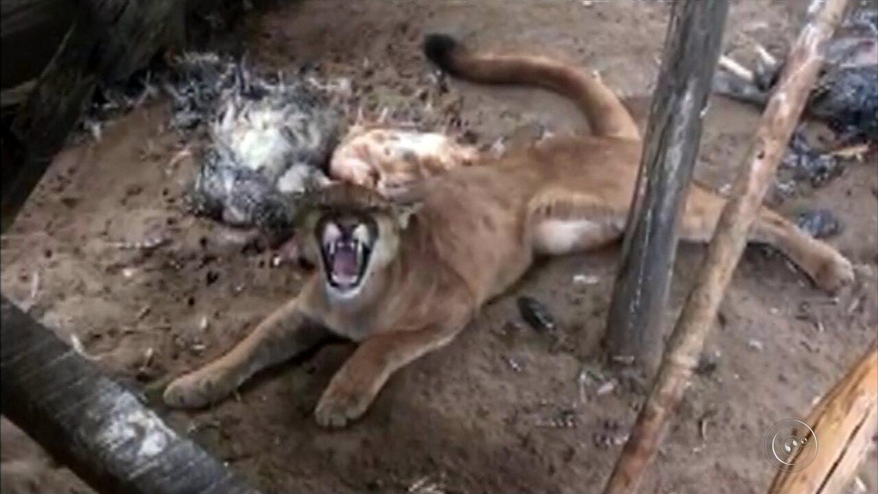 Onça parda invade galinheiro e mata mais de 40 aves em Duartina