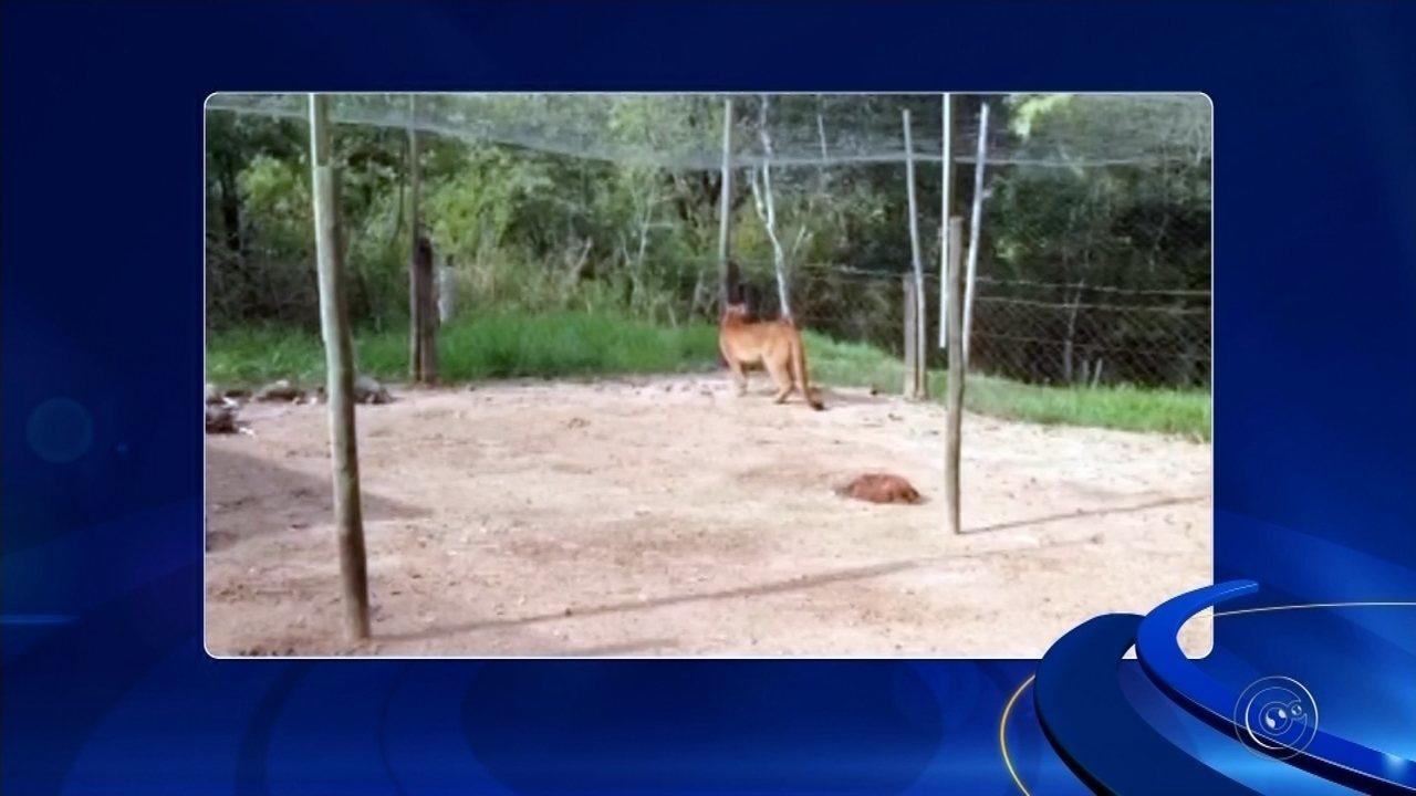 Onça parda que invadiu galinheiro em Duartina é levada para Zoológico de Bauru