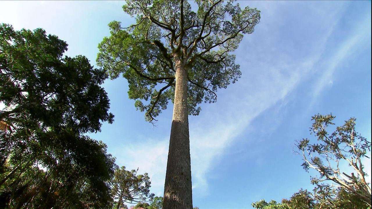 Parque em SP abriga um dos maiores jequitibás do Brasil