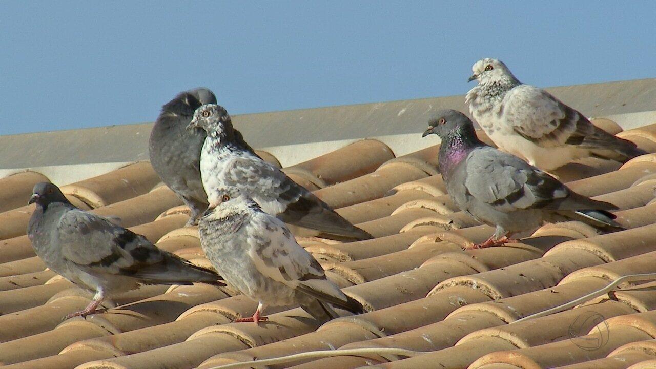 Defensoria ajuíza ação contra moradora que alimenta pombos no Jardim Imá, em Campo Grande