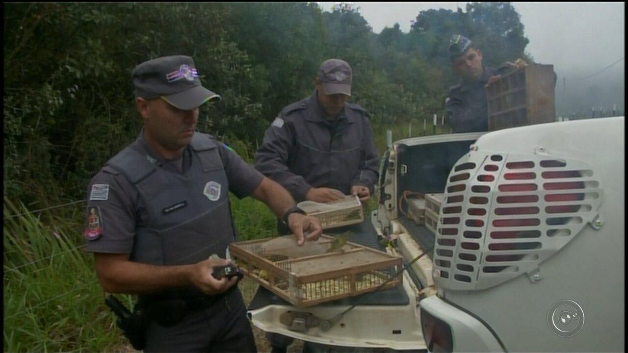 Polícia flagra mais de 1 mil pássaros silvestres dentro de gaiolas em carro