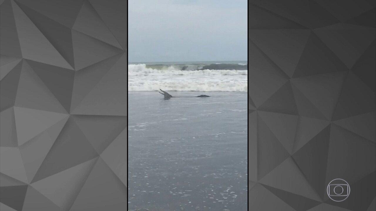 Detetive Virtual investiga se o vídeo do jacaré em praia brasileira é verdadeiro