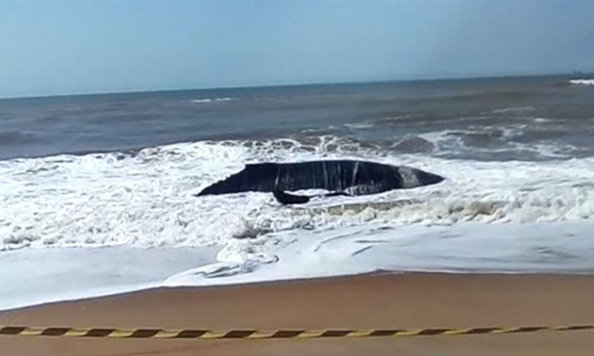 Baleia jubarte viva encalha em praia de Linhares, ES