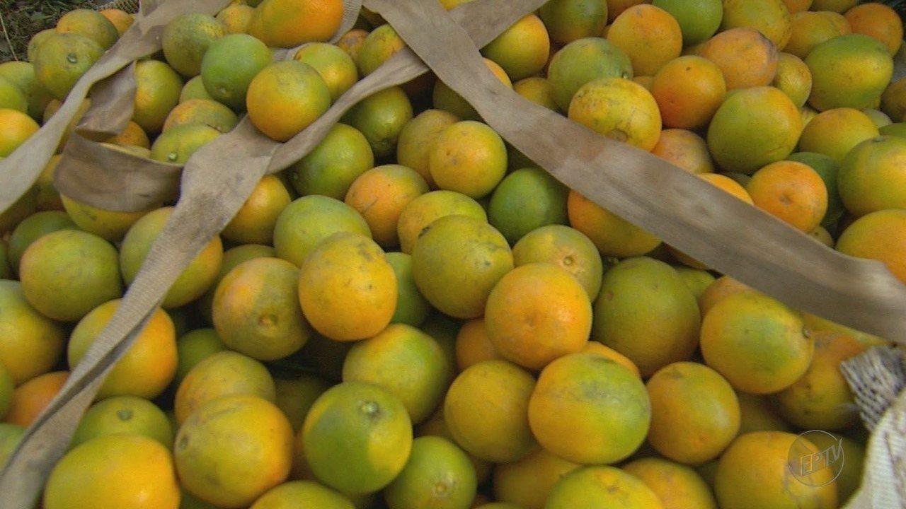 Bebedouro comemora uma das melhores safras de laranja da década