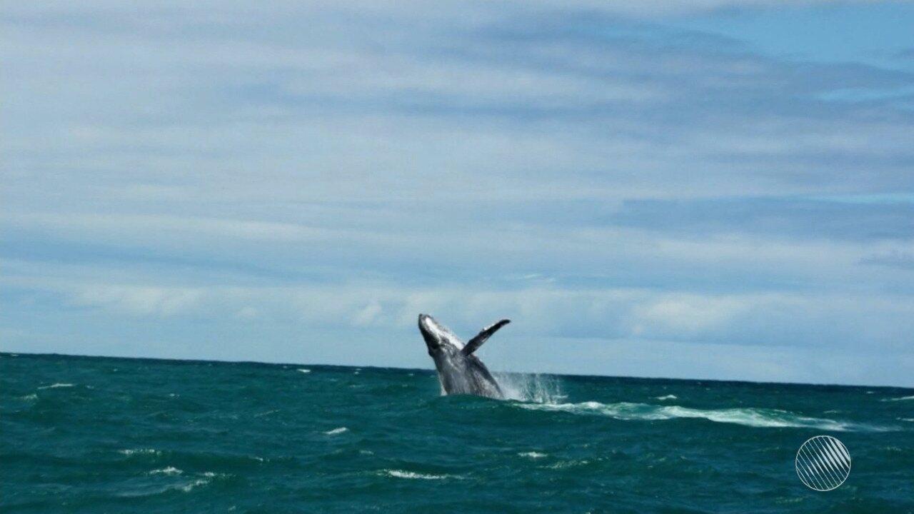 Baleias jubarte são vistas no litoral de Porto Seguro, no sul do estado