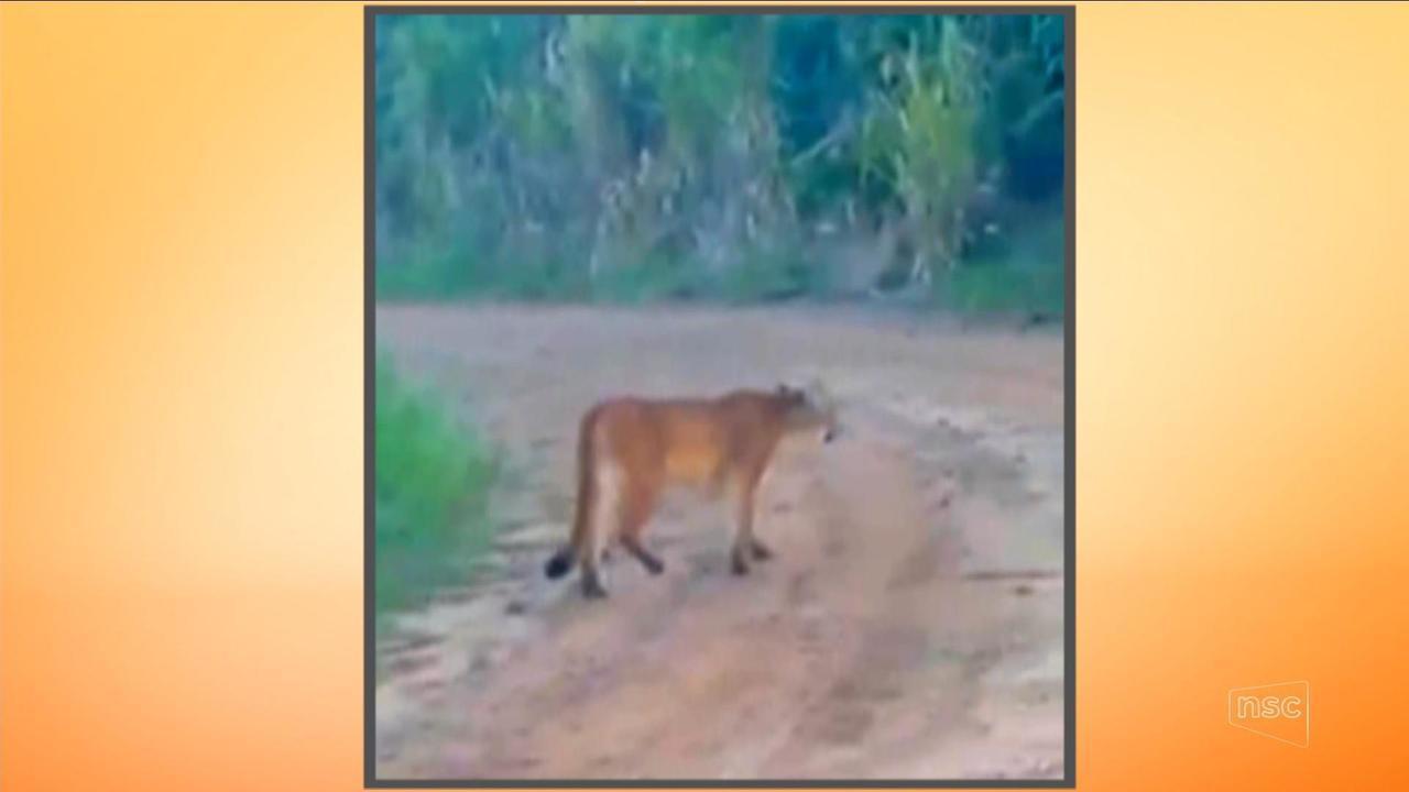 Câmera flagra leão-baio na Serra catarinense