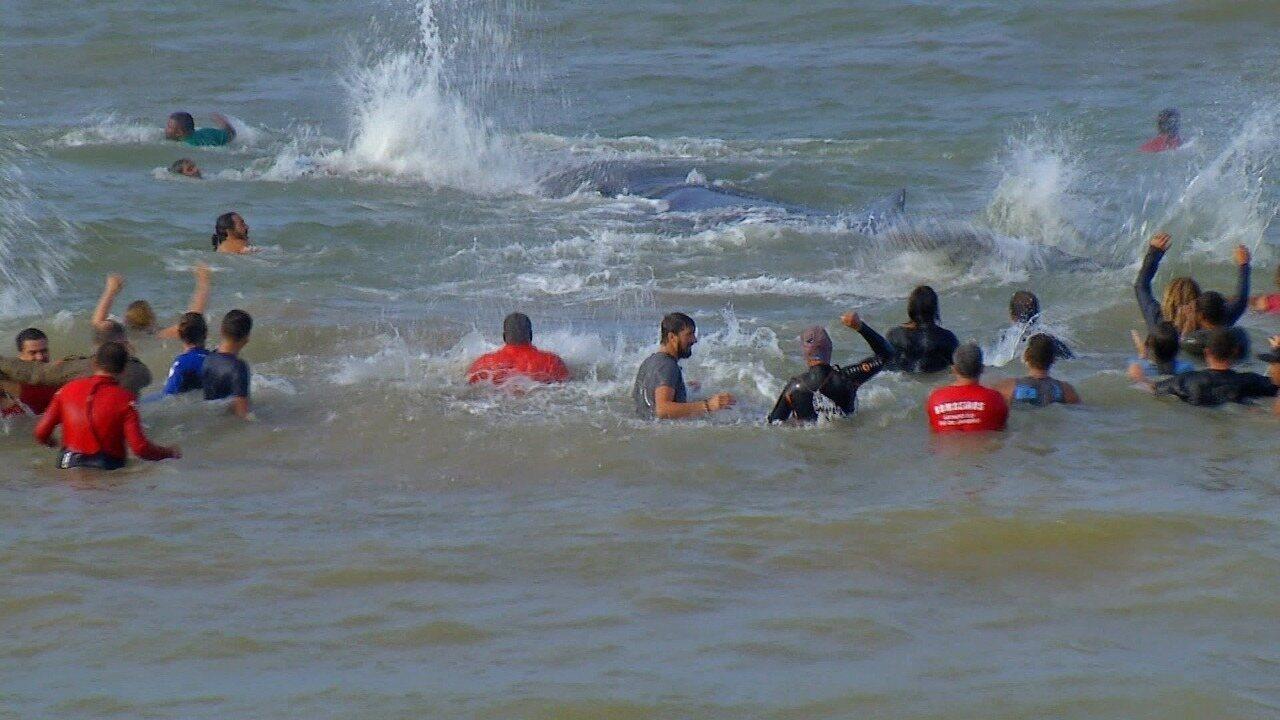 Filhote de baleia é devolvido ao mar em Búzios, no RJ