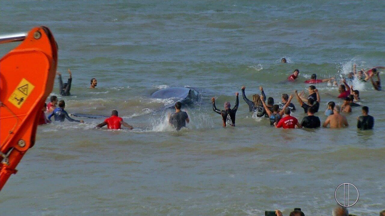 Filhote de baleia que ficou encalhado por quase um dia em Búzios, RJ, é devolvido ao mar
