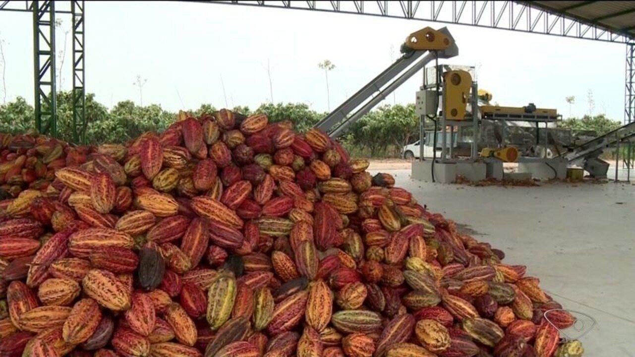 Produtores de Linhares, ES, investem em jeito diferente de plantar cacau