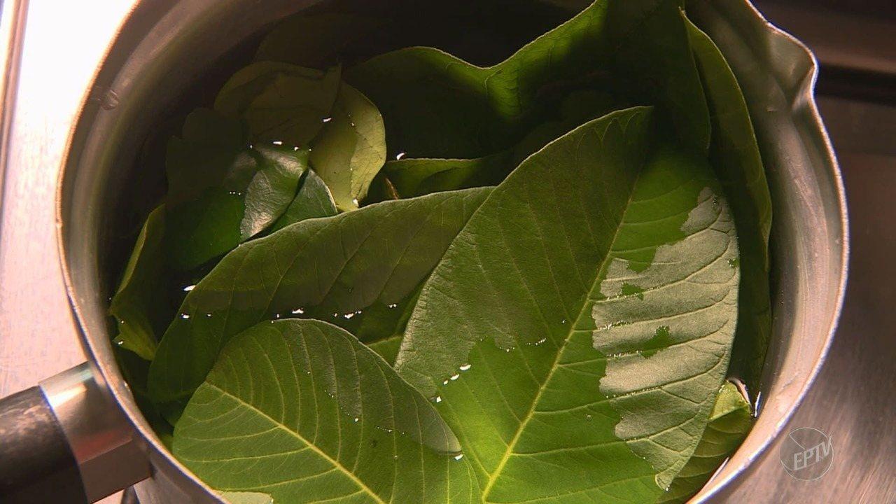 SUS de Valinhos usa chá com folhas de goiaba e pitanga para cicatrização de feridas