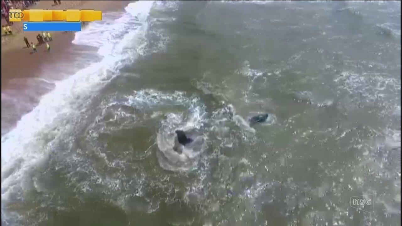 Morre baleia jubarte que encalhou em Barra Velha