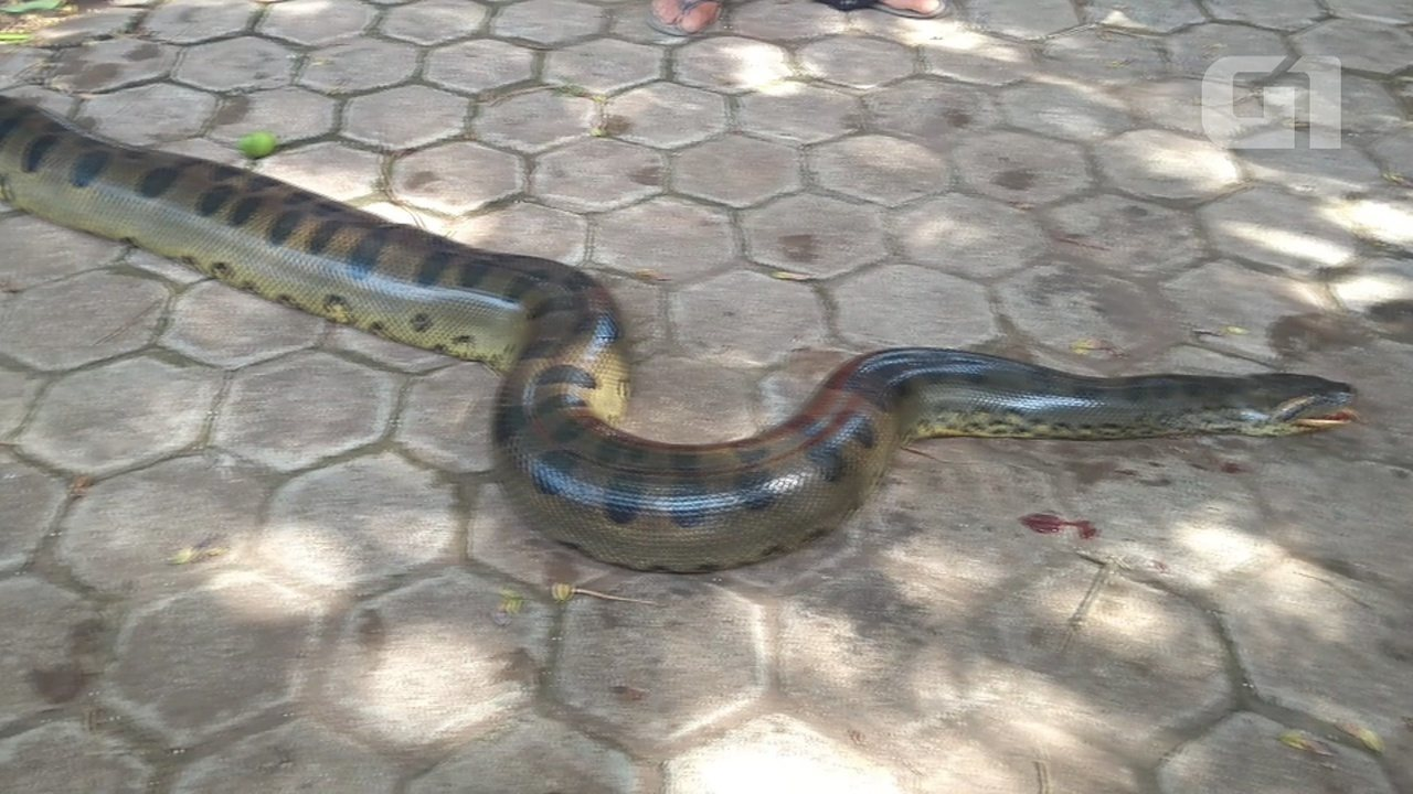 Cobra foi levada pelo Ibama de Porto Velho