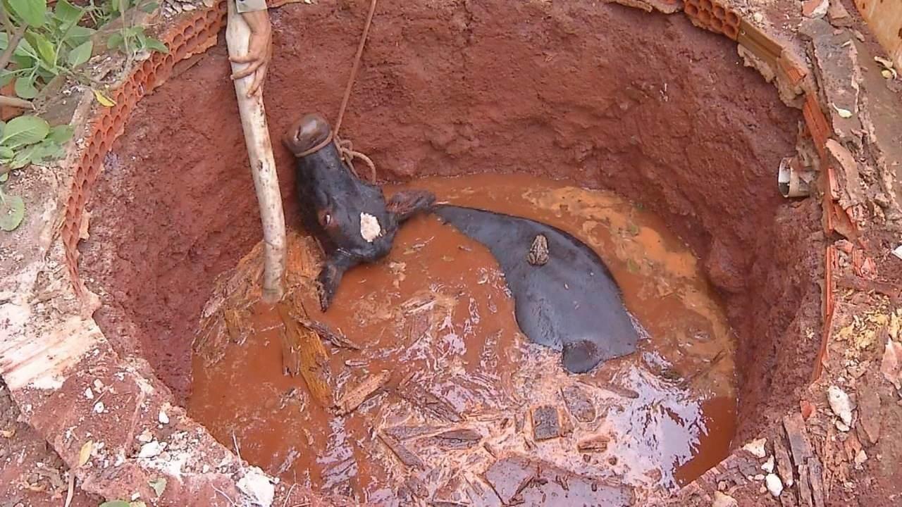 Vaca cai em poço e é retirada pelos bombeiros
