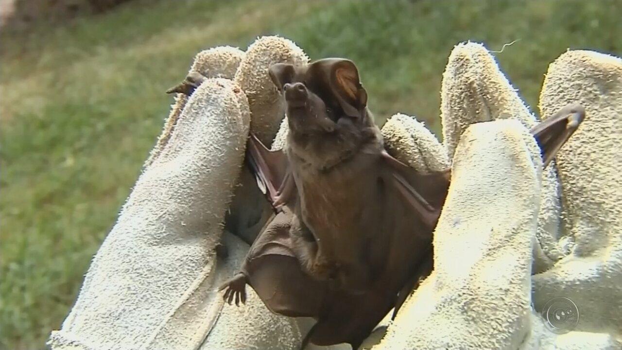 Captura de morcegos com raiva dispara alerta dos órgãos de saúde de Botucatu