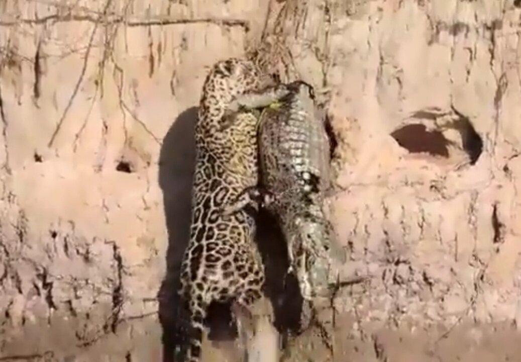 Onça escala barranco de rio no Pantanal agarrada a um jacaré em MT