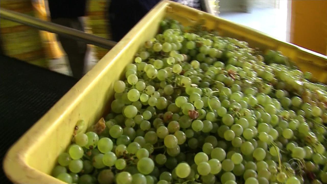 Produtores da Serra comemoram safra da uva com qualidade acima da média