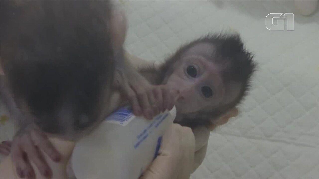 Cientistas chineses clonam macacos com mesma técnica da ovelha Dolly