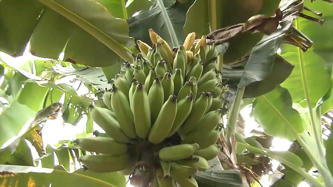 Mirante Rural relembra pesquisa sobre melhoramento genético dos pés de banana
