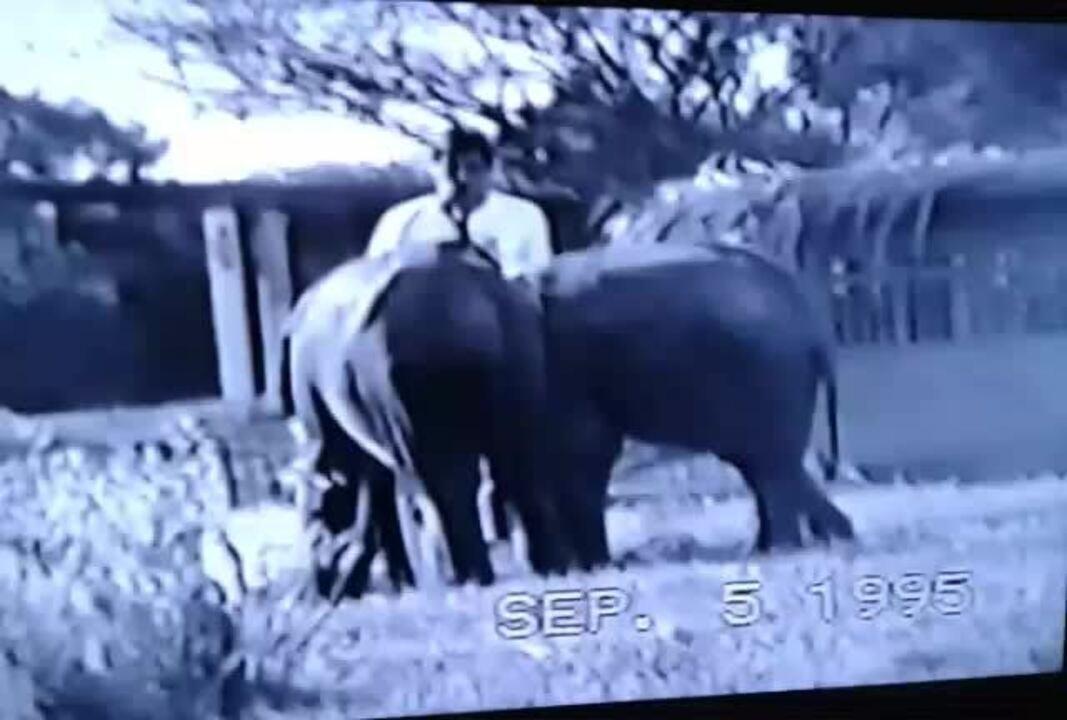 Vídeo mostra a chegada do elefante Babu ao Zoológico de Brasília em 1995