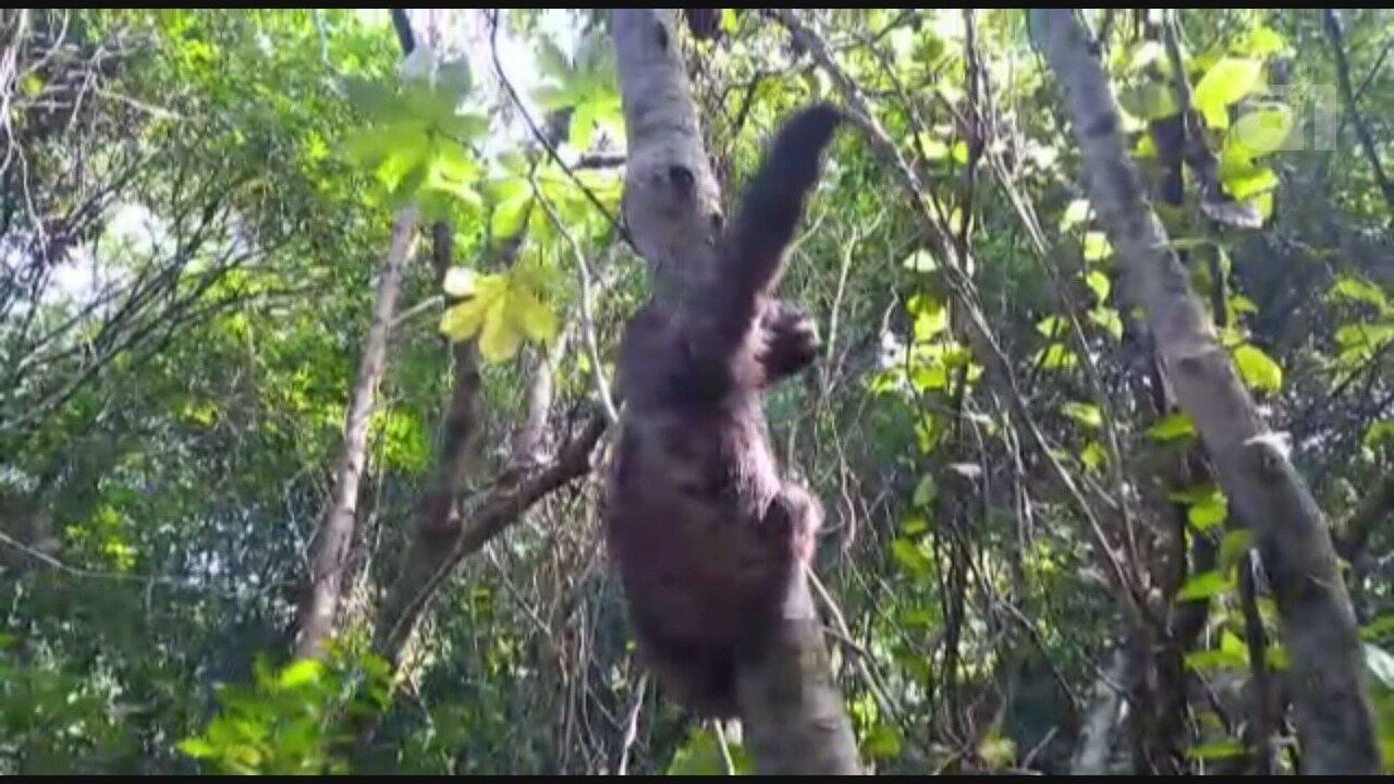 Preguiça 'dá tchau' ao voltar para a natureza no litoral de SP