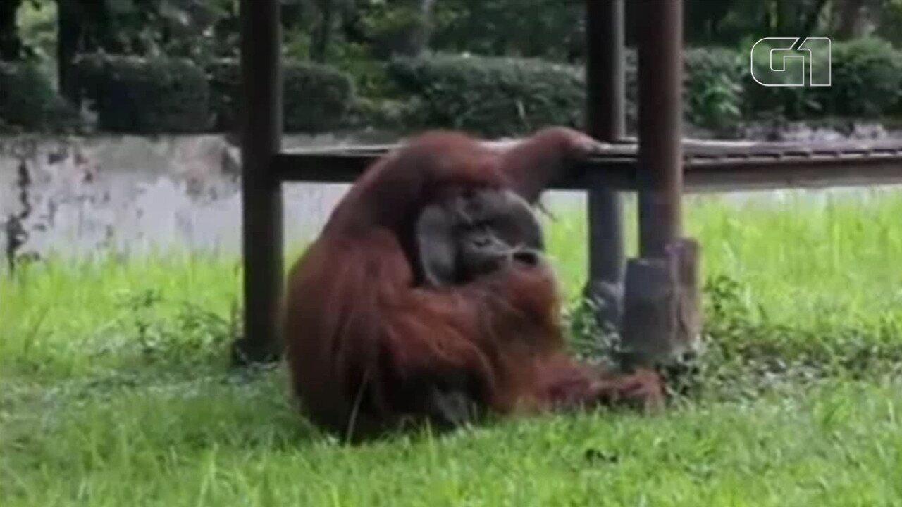 Orangotango fuma cigarro arremessado por turista em zoológico na Indonésia