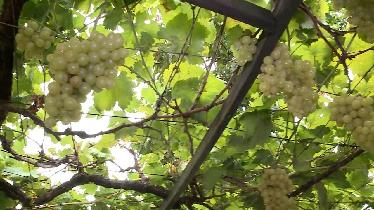 Conheça o cultivo de uvas na zona rural de São Luís