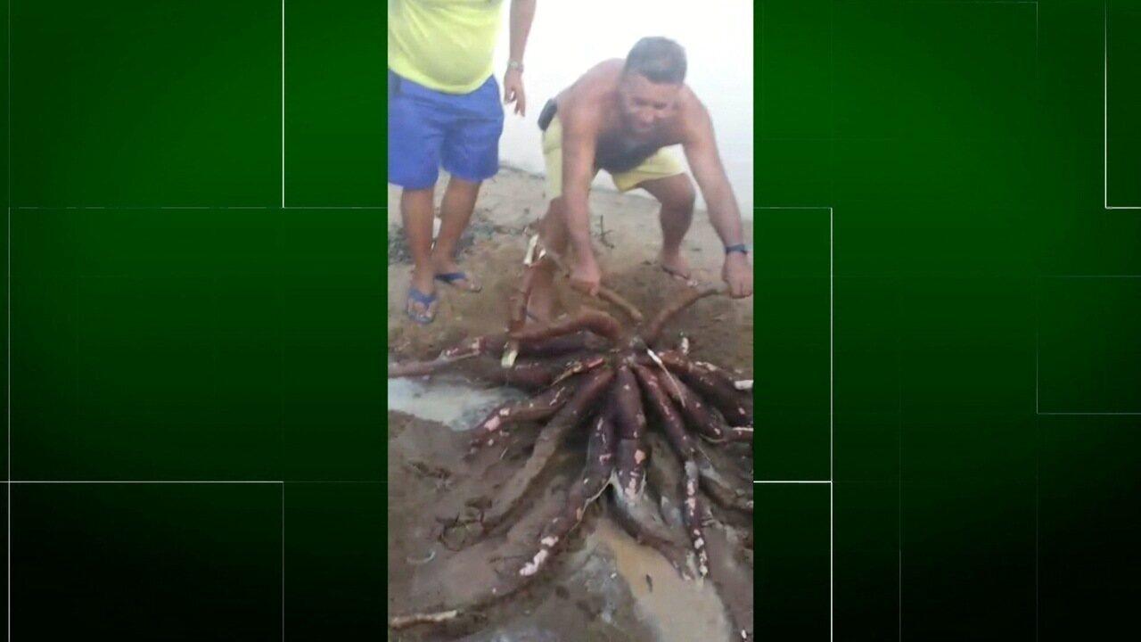 Inter TV Rural conta a história do aipim gigante de Araruama, no RJ