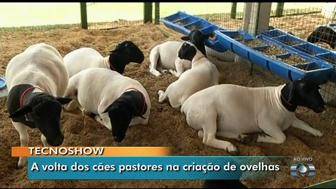 Uso de cães no pastoreio de ovelhas e gado pode melhorar qualidade dos produtos