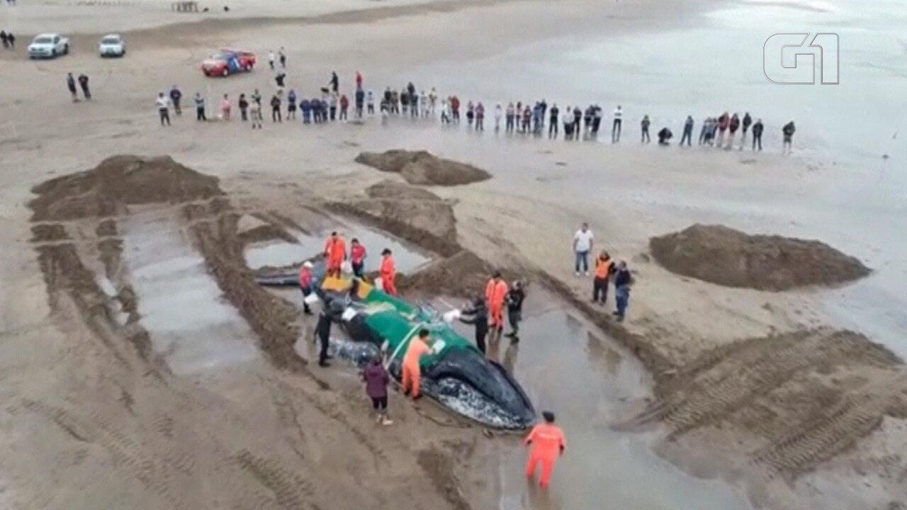 Biólogos tentam desencalhar baleia de 10 toneladas no litoral da Argentina