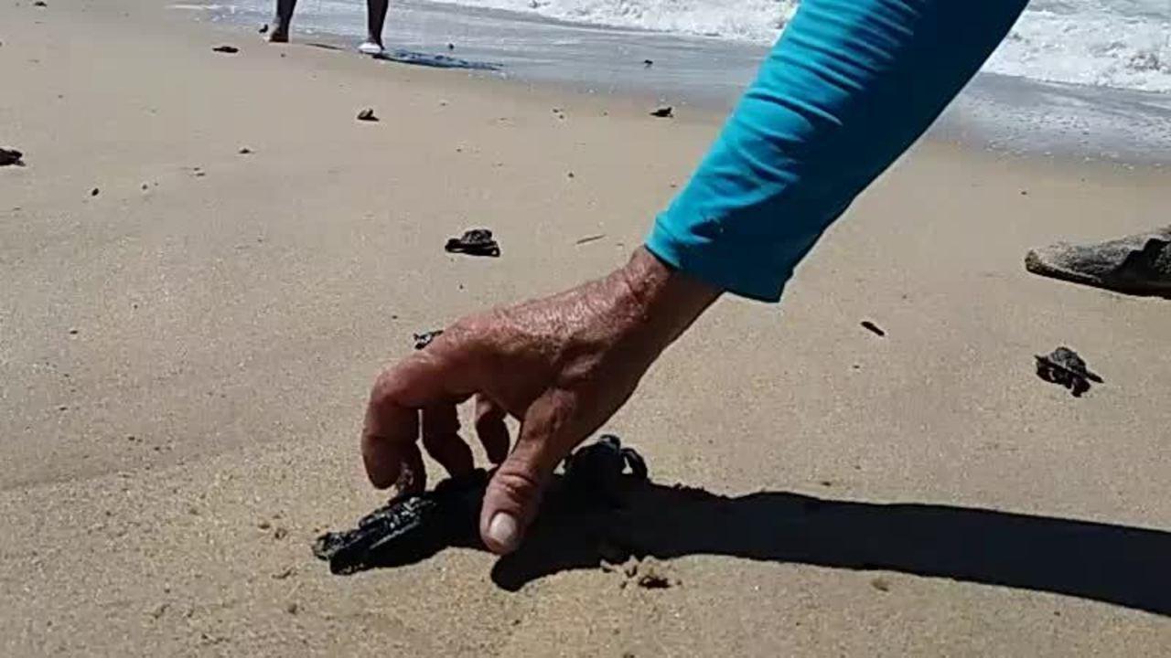 Tartarugas vão em direção ao mar na Praia de Piedade, no Grande Recife. Vídeo: Marlon Costa