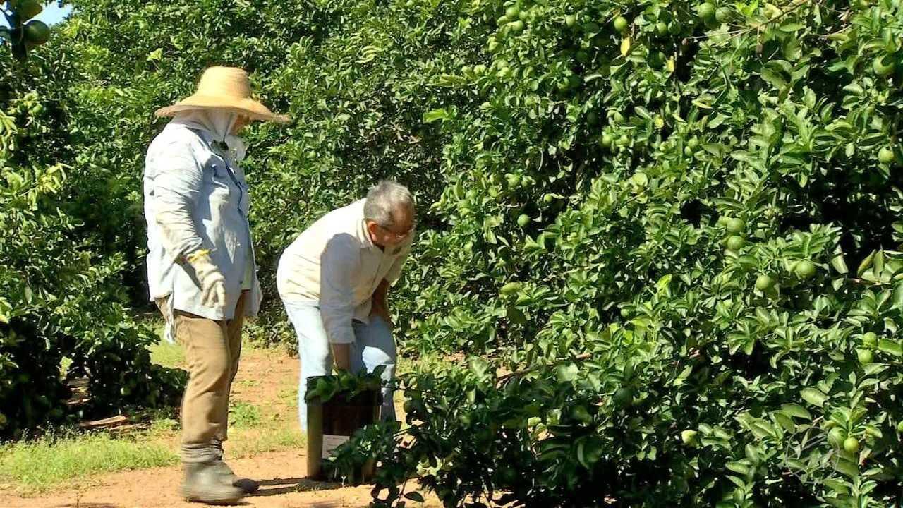 Casal se dedica à produção de limão em solo com cascalho