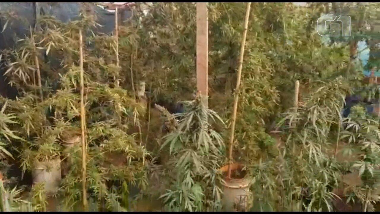 Mais de 90 pés e mudas de maconha são apreendidos no fundo de casa, em Sarandi