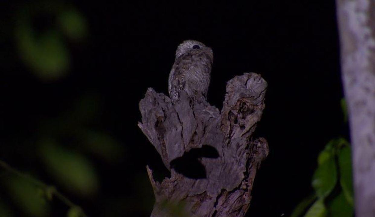 Existem cinco espécies de urutau que se diferem no tamanho e na cor das penas