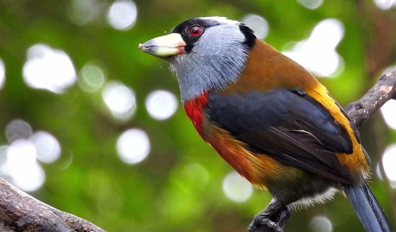Toucan Barbet é protegido em reservas na Colômbia e Equador