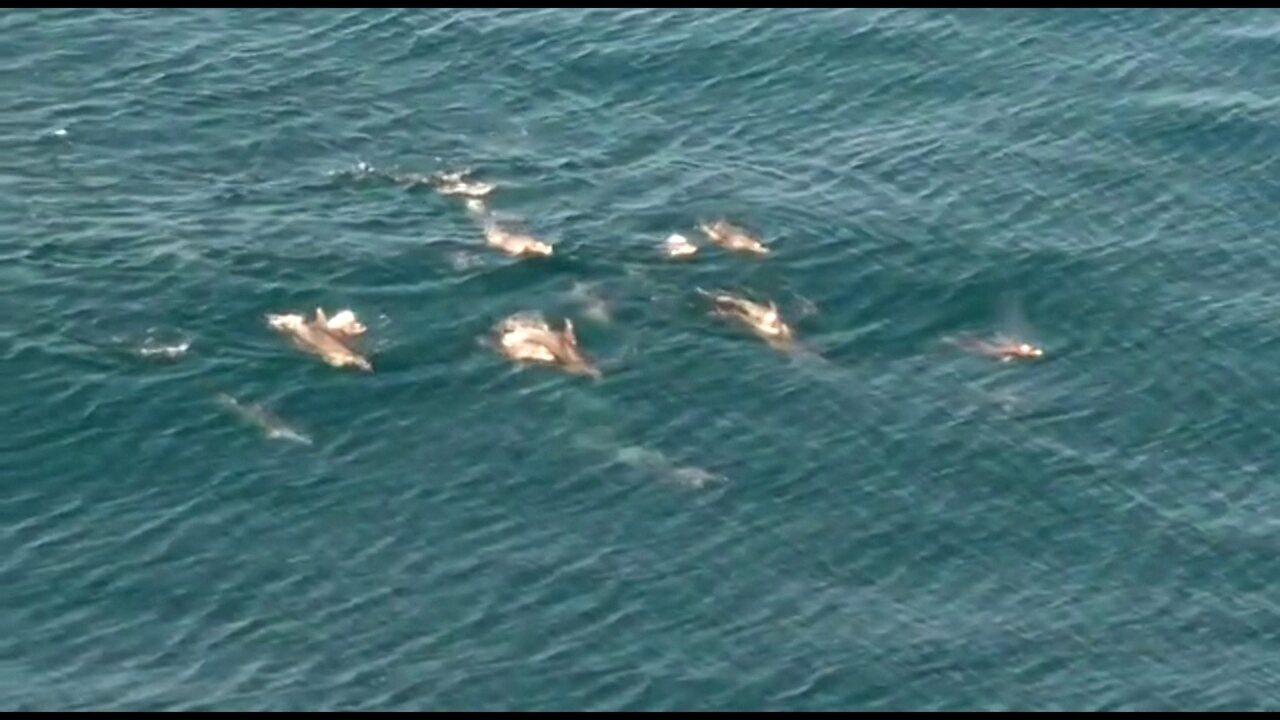 Vídeo mostra golfinhos na costa do Rio
