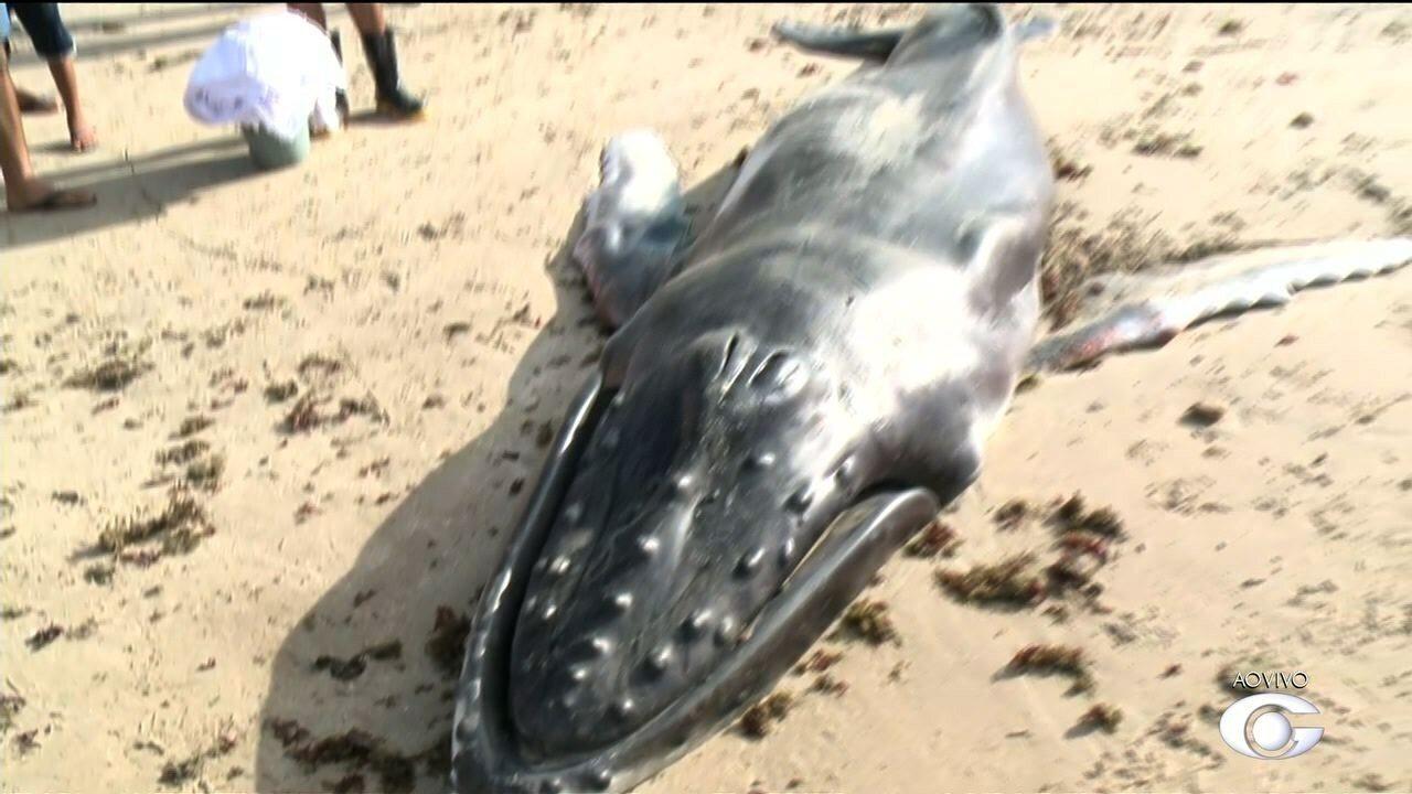 Filhote de baleia da espécie jubarte é encontrado morto na praia de Ipioca, em Maceió